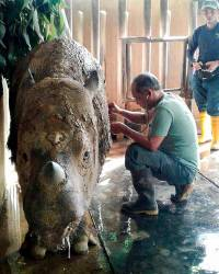 This undated handout photo released by the Sabah Wildlife Department on Dec 20, 2017 shows a wildlife official (C) attending to female Sumatran rhino named Iman at the Tabin Wildlife Reserve in Lahad Datu, on the island of Borneo. — AFP