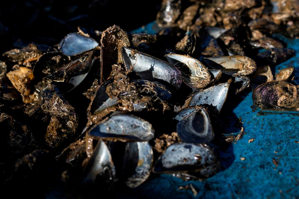 Destroyed mussels due to high temperatures this summer, are seen on the boat of mussel farmer Stefanos Sougioultzis in the Thermaic Gulf, Greece, September 15, 2021. Picture taken September 15, 2021. REUTERSpix
