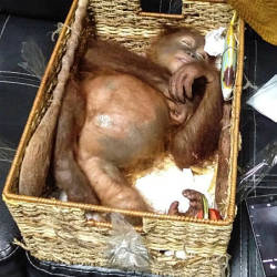 This handout picture taken and released on March 23, 2019 by the Natural Resources Conservation Agency of Bali shows a rescued two-year-old orangutan resting inside a rattan basket, after a smuggling attempt by a Russian tourist at Bali's international airport in Denpasar. — AFP