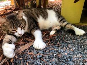 Billy Holliday, one of the six-toed cats of the Ernest Hemingway Home and Museum, where the American writer and 1954 Nobel prize winner lived with his wife Pauline in the 1930s in Key West, Florida on August 30, 2020. / AFP / Leila MACOR