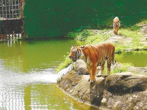 A Malayan Tiger that is well taken care of at Zoo Melaka and Night Safari. –Bernama
