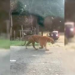 The tiger known as Awang Besul seen in a screengrab from a viral video.