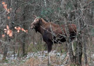 An elk is seen alongside of a road from Pripyat to Chernobyl on December 8, 2020. More than three decades after the Chernobyl nuclear disaster forced thousands to evacuate, there is an influx of visitors to the area that has spurred officials to seek official status from UNESCO. O AFP / GENYA SAVILOV
