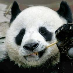 Chuang Chuang, a beloved giant panda on loan to Thailand from China, died in a Chiang Mai zoo aged 19. — AFP