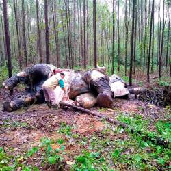 This handout picture taken on Nov 19, and released on Nov 20 by Indonesian Natural Resourches Conservation shows veterinarians examining a dead elephant at an industrial forest concessions in Bengkalis, Riau province. — AFP