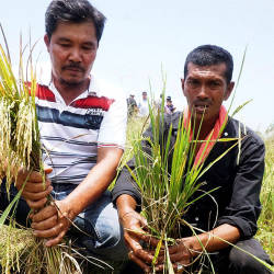 Farmers Zulkifli Ramli (R) and Oii Jee Kok show crops affected by rat infestation and prevalence of other pests, on Aug 19, 2019. — Bernama