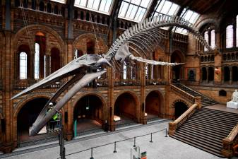 A conservation team member at the Natural History Museum cleans Hope, a blue whale skeleton during preparations to reopen, after the outbreak of the coronavirus disease (COVID-19) caused its closure, in London, Britain July 27, 2020. Picture taken July 27, 2020. REUTERS/Dylan Martinez