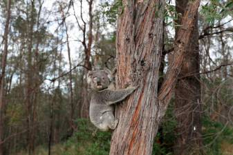 Drones drop seed for Koala gum trees
