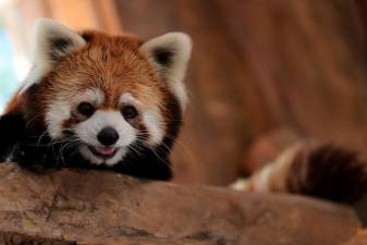 Chile zoo introduces two rare red pandas
