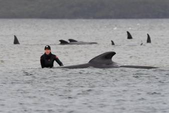 Australia finds more stranded whales