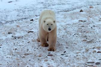 Radar to spot approaching polar bears