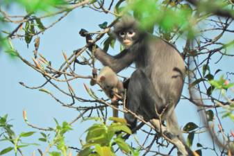 Newly discovered primate already facing extinction