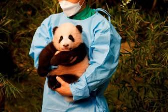 Fu Bao, first panda born in South Korea