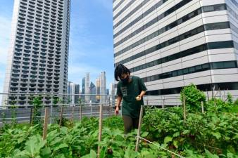A worker tends to a rooftop farming patch atop the Raffles City mall in Singapore.