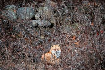 FILE PHOTO: A red fox sits in a field in Hook Mountain State Park above Nyack, New York, U.S. January 5, 2020. REUTERS/Mike Segar/File Photo
