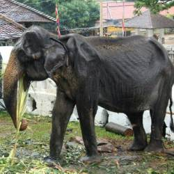 Wildlife authorities are investigating how the emaciated 70-year-old elephant was forced to take part in a parade. — AFP