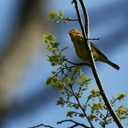A Prairie Warbler spotted at Prospect Park in the Brooklyn borough of New York City in 2014. — AFP