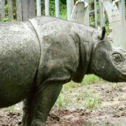 Filepix shows Tam, Malaysia's last male Sumatran rhino that died on May 29 this year. — Reuters
