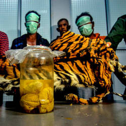 This picture taken on Dec 7, 2019 shows the three Indonesian men, wearing masks, being paraded with a seized Sumatran tiger skin and four tiger foetus in a jar, after they were caught by the wildlife enforcement team as they tried to sell these items in Pekanbaru, Riau — AFP