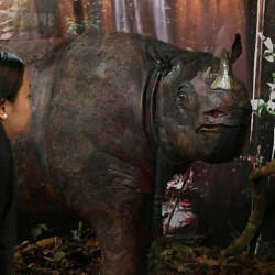 A visitor to the Sabah Museum, looks at Tam, the last male rhino, on Oct 15, 2019. — Bernama