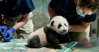 This November 18, 2020 handout photo obtained November 23, 2020 courtesy of the Smithsonian's National Zoo and Conservation Biology Institute, shows the 3-month-old giant panda cub. / AFP / Smithsonian's National Zoo / Handout
