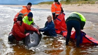 Rescue of stranded whales in Australia enters final days