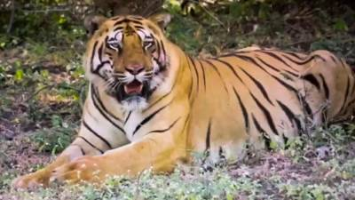 This screengrab from a handout video taken on March 28, 2020, by the Wildlife Institute of India and released on April 4, 2020, shows a tiger named Walker at the Dnyanganga Wildlife Sanctuary in Gerumatargaon, Maharashtra. — AFP