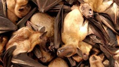 Don't blame bats for the Covid-19 pandemic