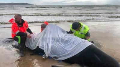 Hopes fade for more survivors in Australian mass whale stranding