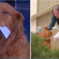 Golden retriever delivers groceries to neighbour under quarantine