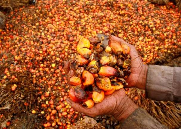 PALM OIL: Tight supply set to keep CPO prices at RM2,400-RM2,800 a tonne for rest of August