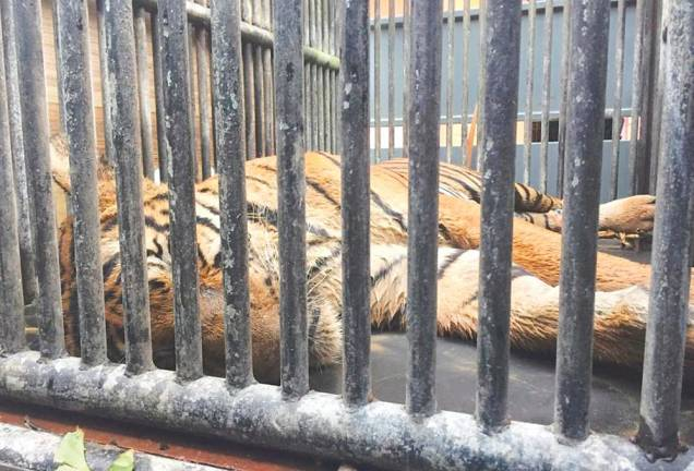 Malayan tiger closer than ever to extinction