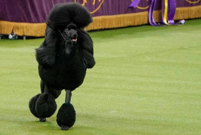 Standard poodle crowned top dog