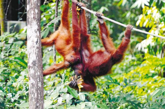 Sabah on track to conserving Bornean orangutan