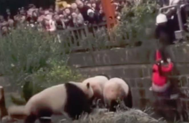(Video) Girl rescued after falling into panda enclosure