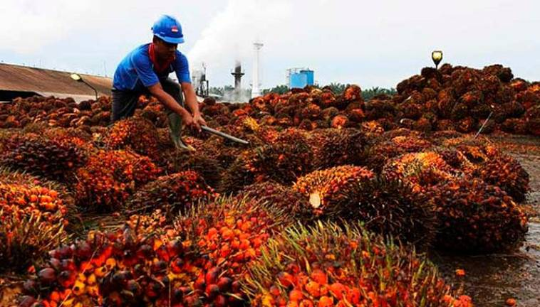 Malaysia's August palm oil stocks likely 6% higher month on month: CGS-CIMB
