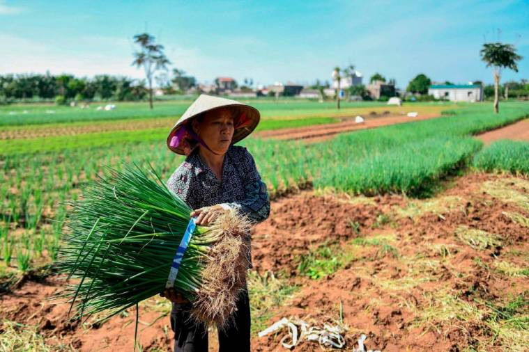 "This photograph taken on October 22, 2020 shows a farmer harvesting spring onions at the Cat Lai Co-op fresh vegetable farm, that applies ""safe"" farming methods, in Ha Nam province outside of Hanoi. AFP / Manan VATSYAYANA"