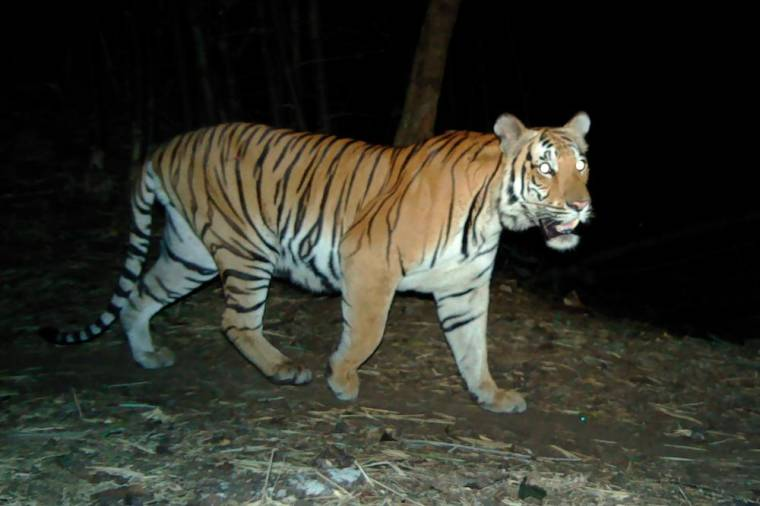 This undated handout photo from Thailand's Department of National Parks, Wildlife and Plant Conservation-Panthera-Zoological Society of London-USFWS-AsECF released on July 29, 2020 shows a tiger taken with a remote camera trap in a remote region of western Thailand. AFP PHOTO / Thailand's Department of National Parks, Wildlife and Plant Conservation-Panthera-Zoological Society of London-USFWS-AsECF