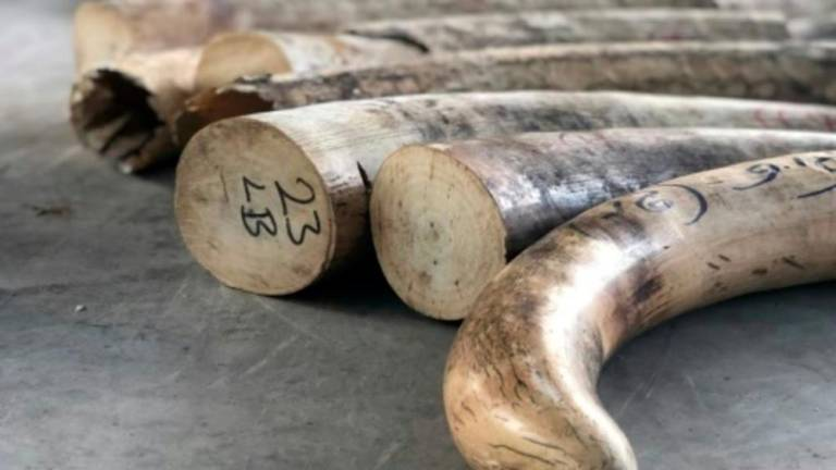 Singapore makes its biggest ever illegal ivory seizure