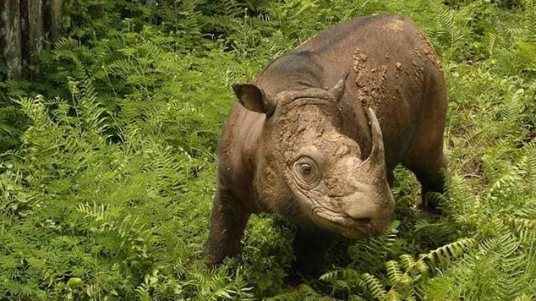Malaysia, Indonesia to collaborate in saving Sumatran rhino