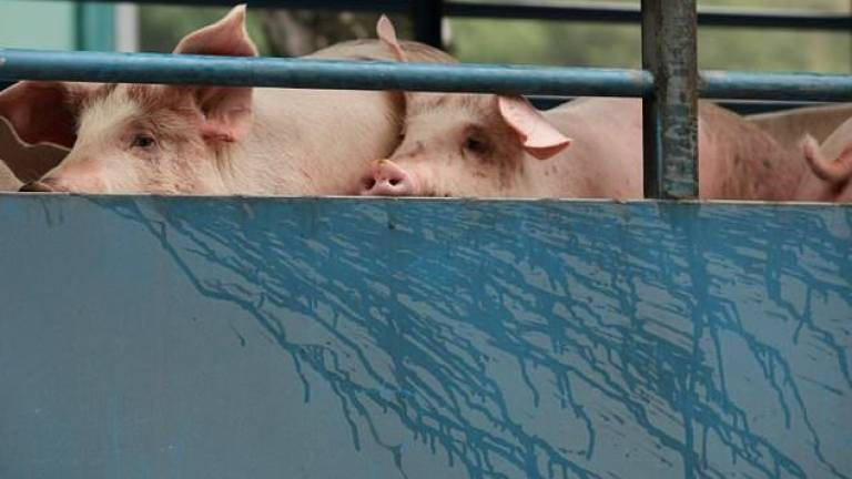 North Korea taking 'emergency' measures to contain swine fever