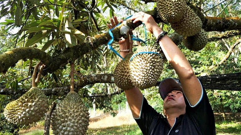 Durian the next big threat to Malaysian rainforest: Environmentalist