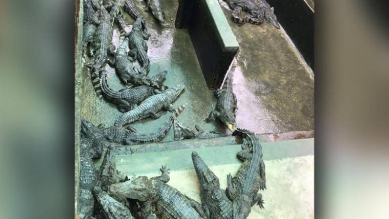 Family of girl eaten by crocodiles to sell off farm