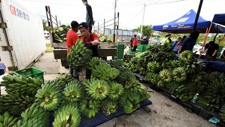 Hunger for 'Pisang Sabah' helping farmers make money