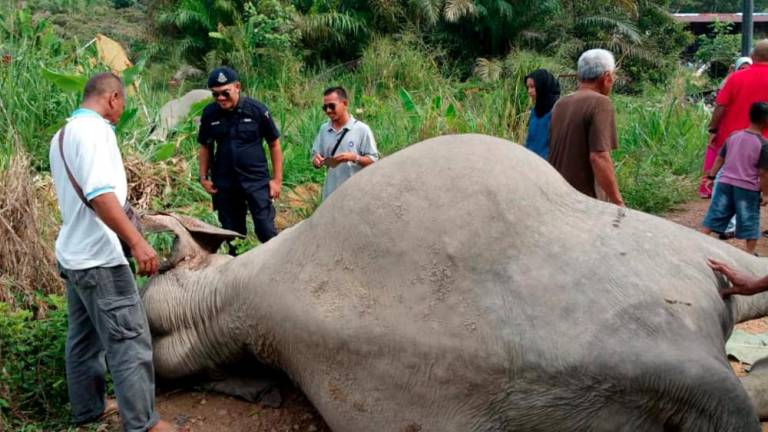 Three months to identify poison that killed three elephants in Johor