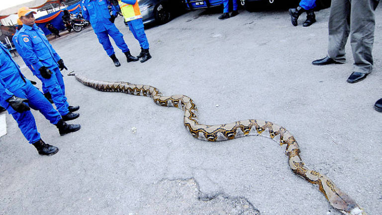 Three female Civil Defence Officers overpower 10 metre python