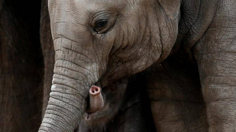 Suspect detained after discovery of pygmy elephant carcass with bullet wounds