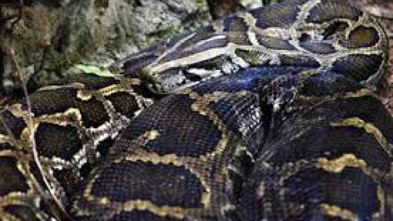 100kg python strangles an Indonesian man to death in Jabor