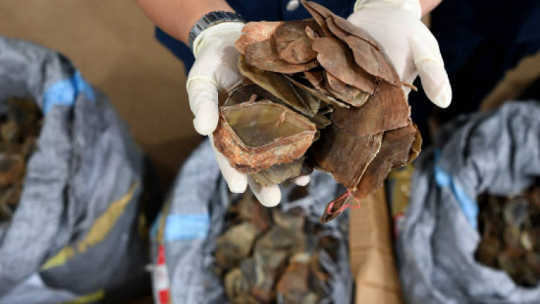 Pangolin scales worth RM9m seized (Updated)