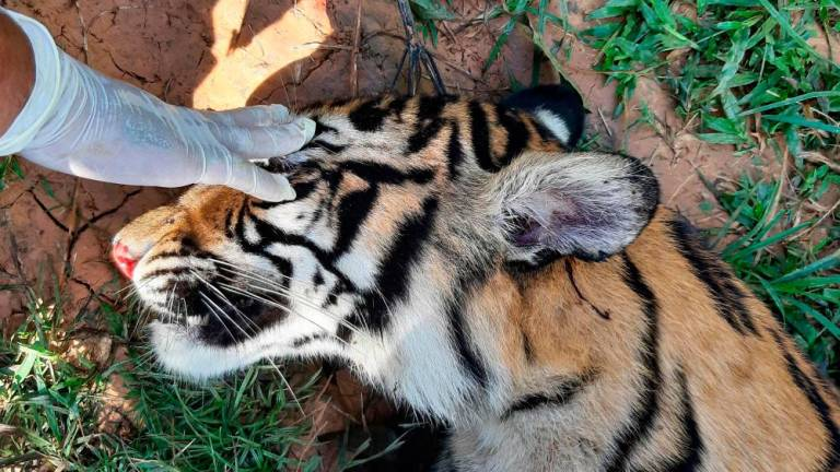 Indonesia reports another suspected Sumatran tiger poisoning